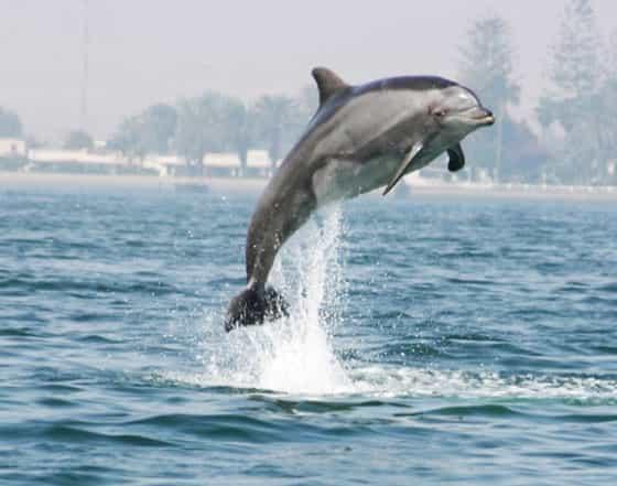 Delfin - Patenschaften und dem Schutz der Meeressäuger